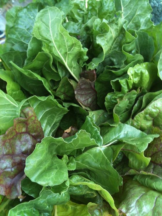 NutriSue - lettuce